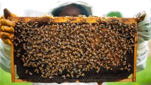 Panal de cera con abejas