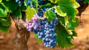 Racimo-de-uvas
